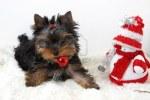 2631496-yorkshire-terrier-cachorro-con-un-a-o-nuevo---39-s-en-un-juguete-de-los-dientes