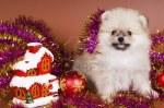 3911284-el-cachorro-de-un-perro-spitz-se-re-ne-a-o-nuevo